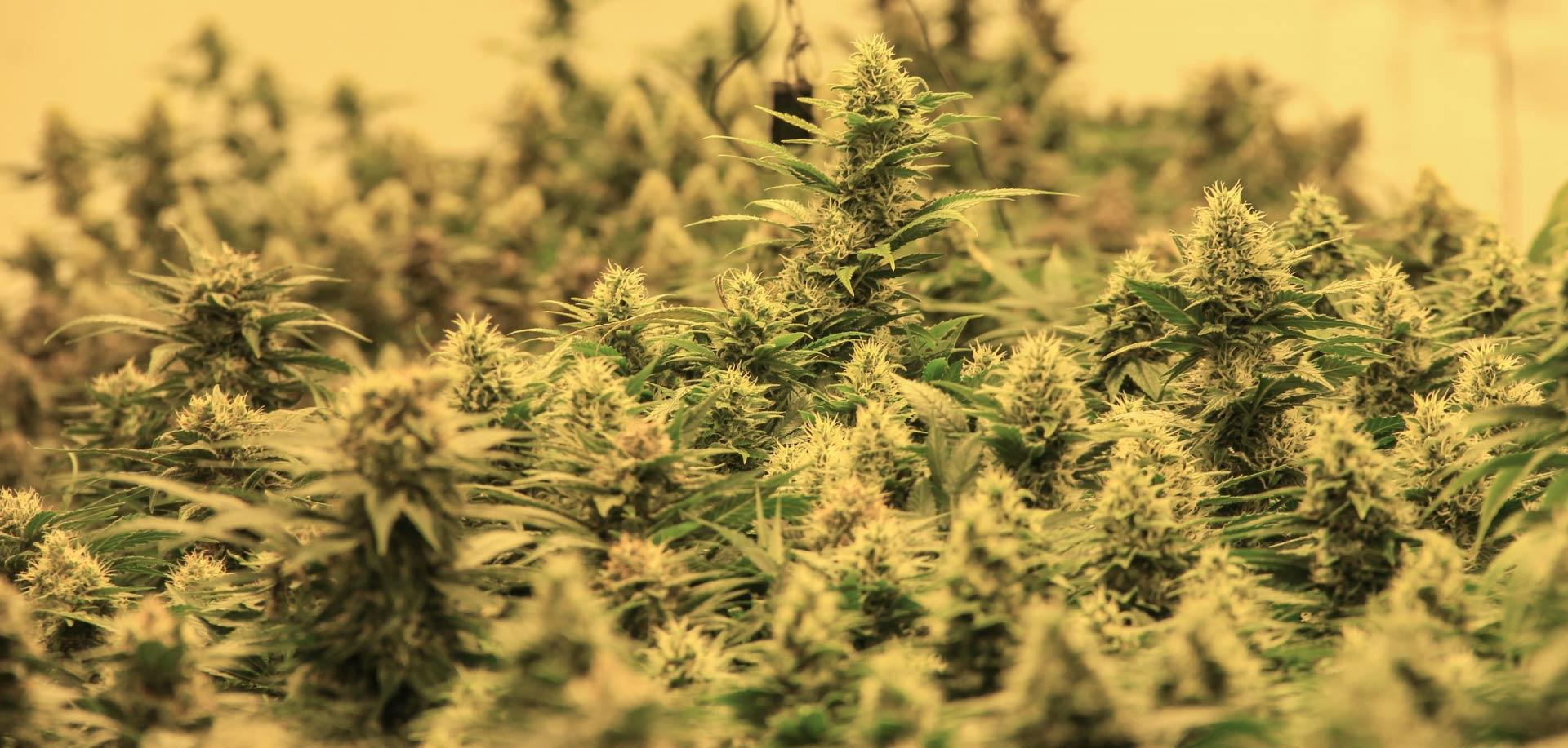 ANC-Dispensary-Background-Cannabis